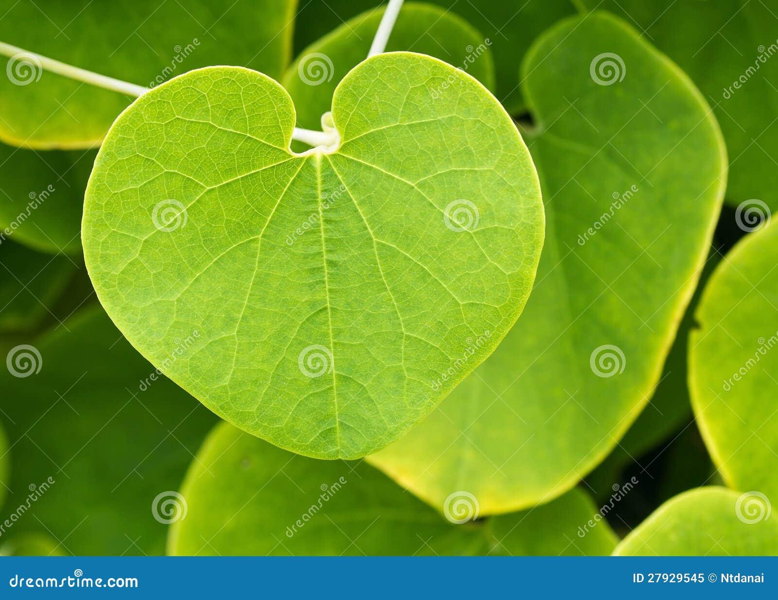 Hoja de la planta de la enredadera foto de archivo libre - Plantas de hojas verdes ...