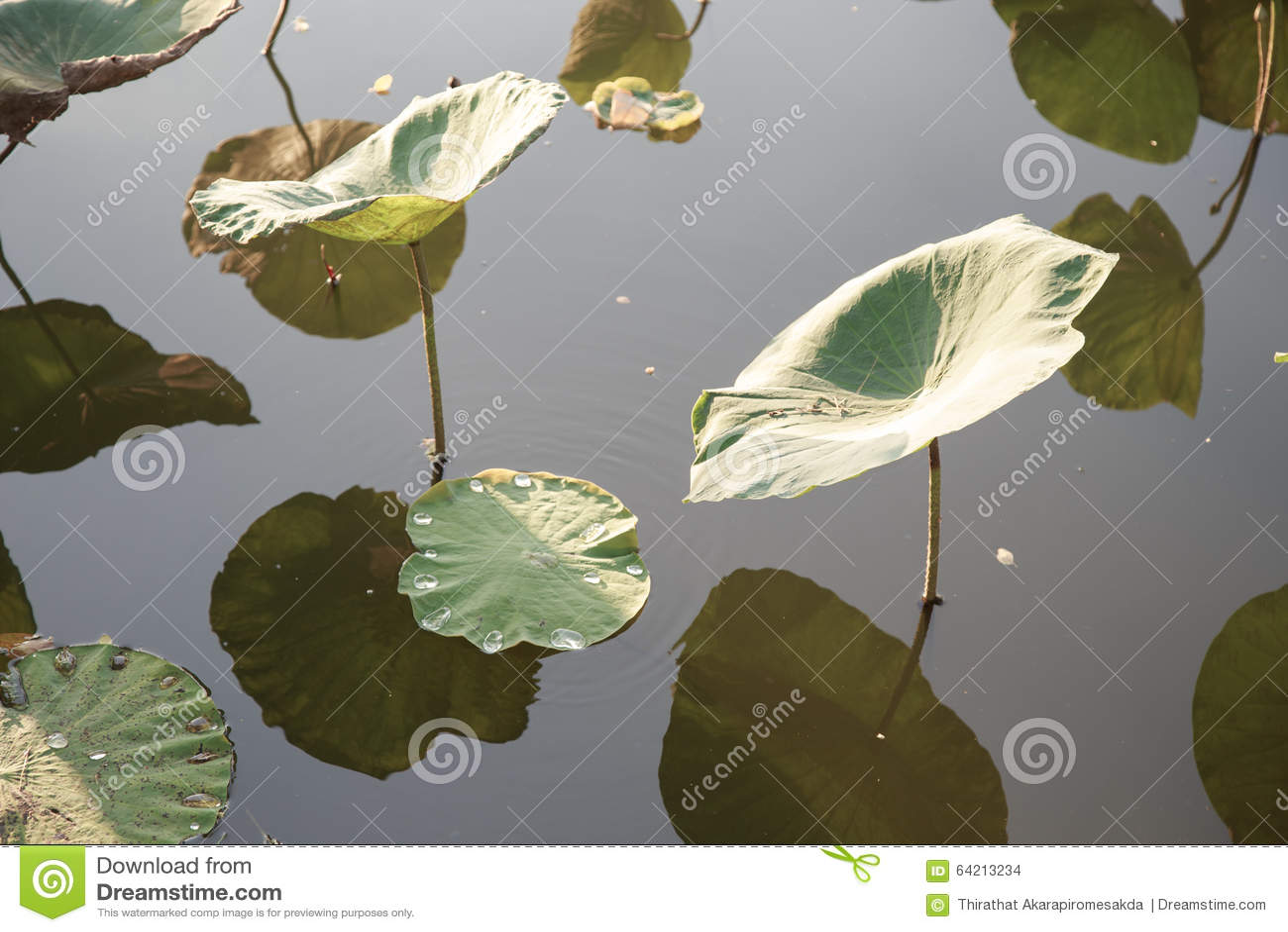 Hoja de Lotus en la charca