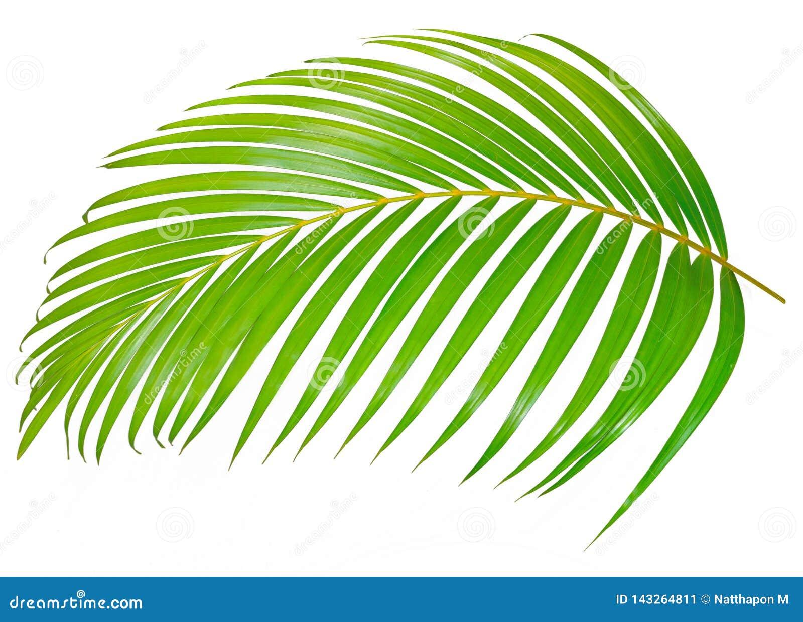 Hoja de palma verde aislada en el fondo blanco con la trayectoria de recortes