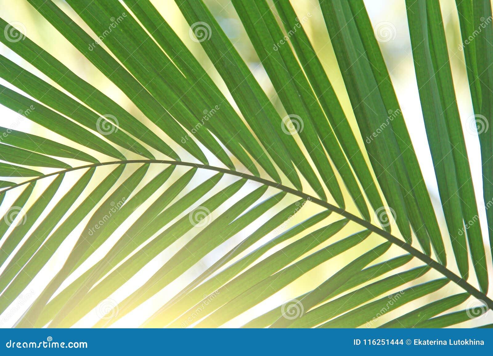 Hoja de palma y sol verdes hermosos Fondo verde de la palmera