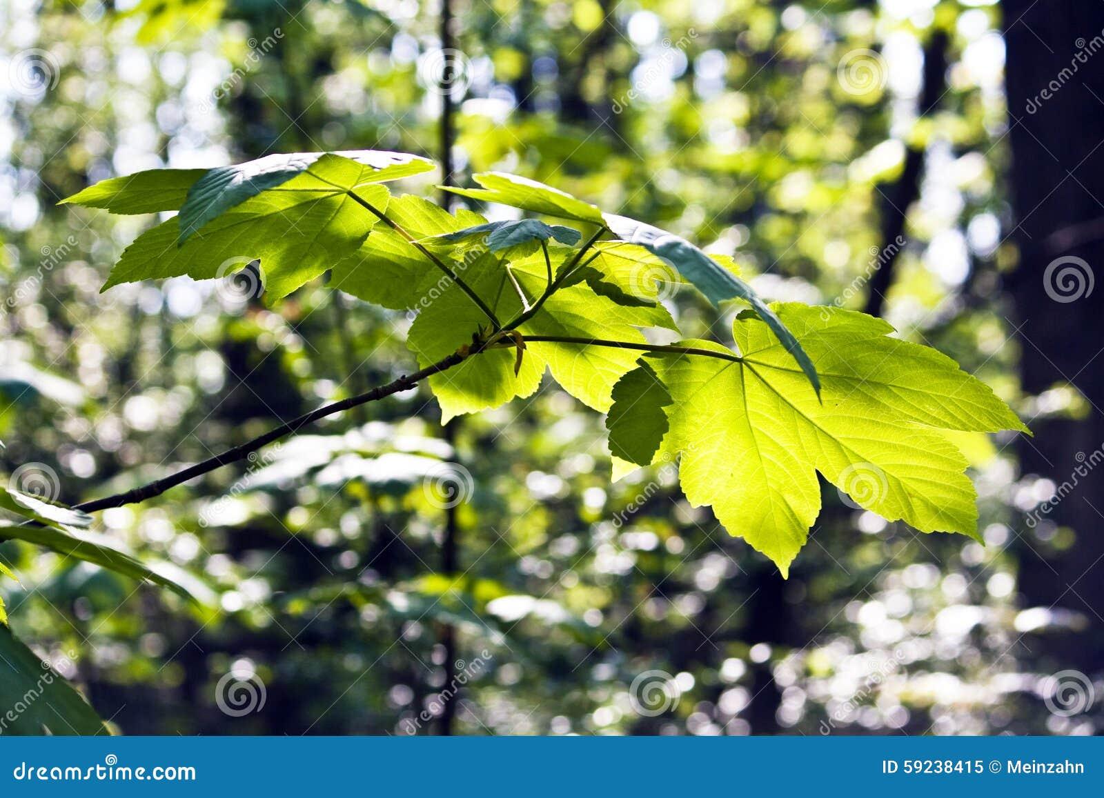 Download Hoja De Un árbol En Luz De La Mañana Imagen de archivo - Imagen de paisaje, mañana: 59238415