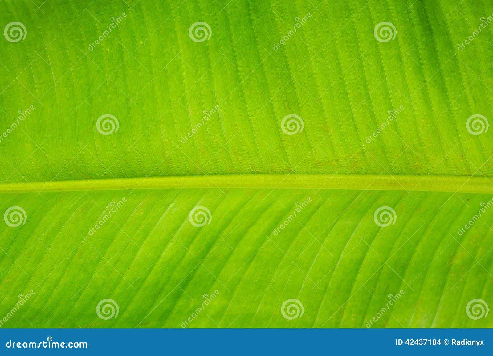 Hoja del plátano
