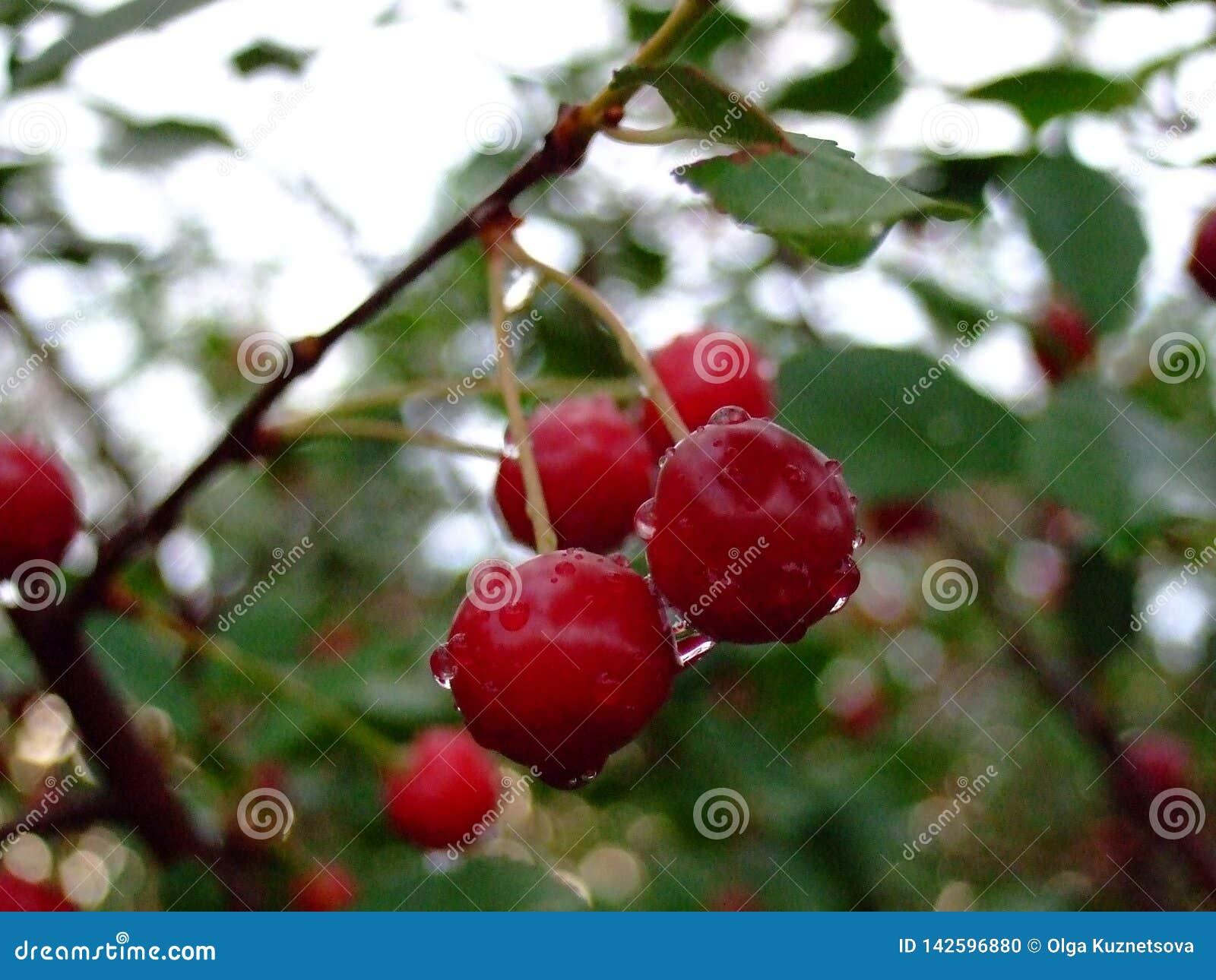 Hoja del ?rbol frutal con las gotas de agua