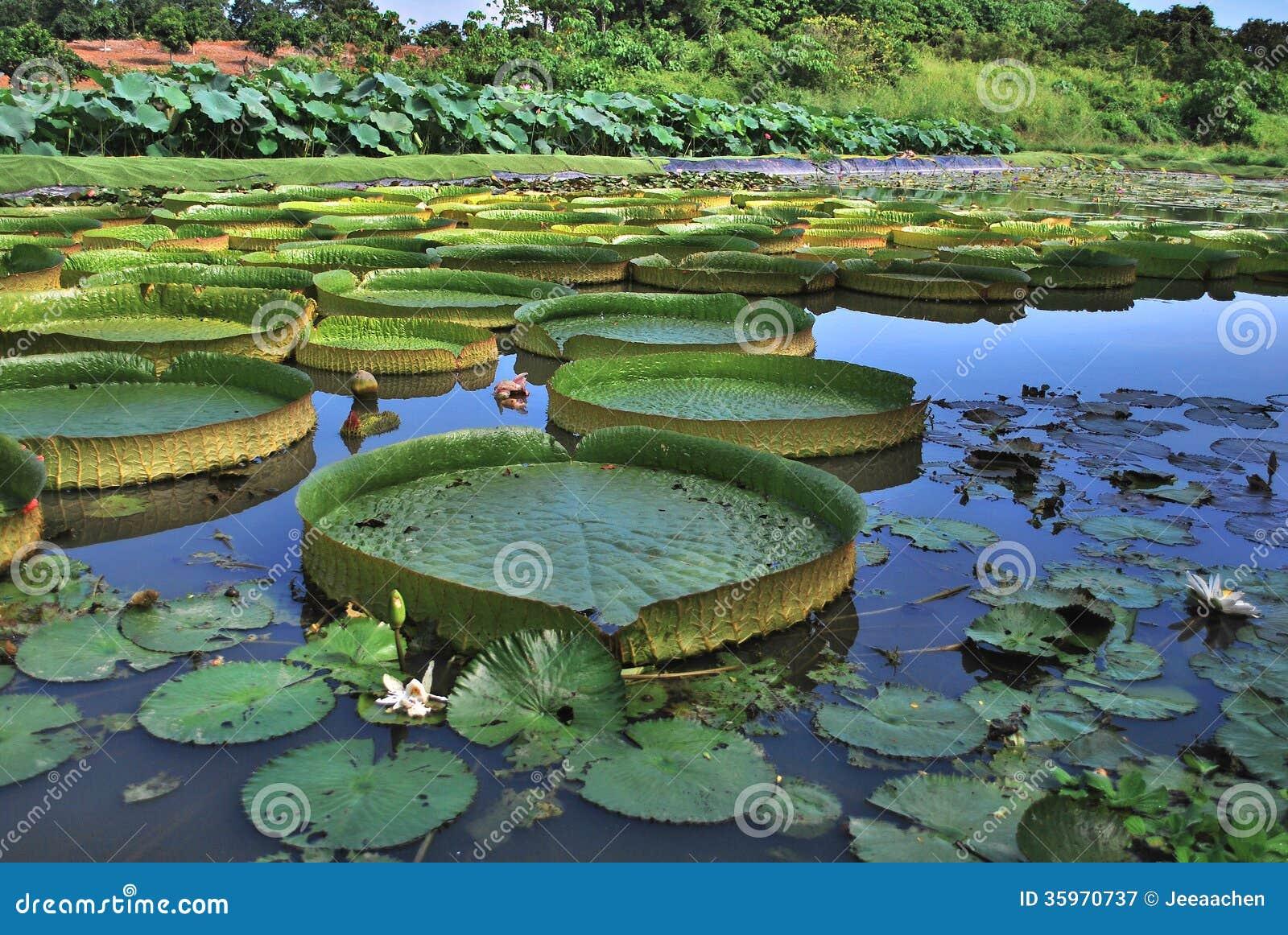 Hoja enorme de Lotus