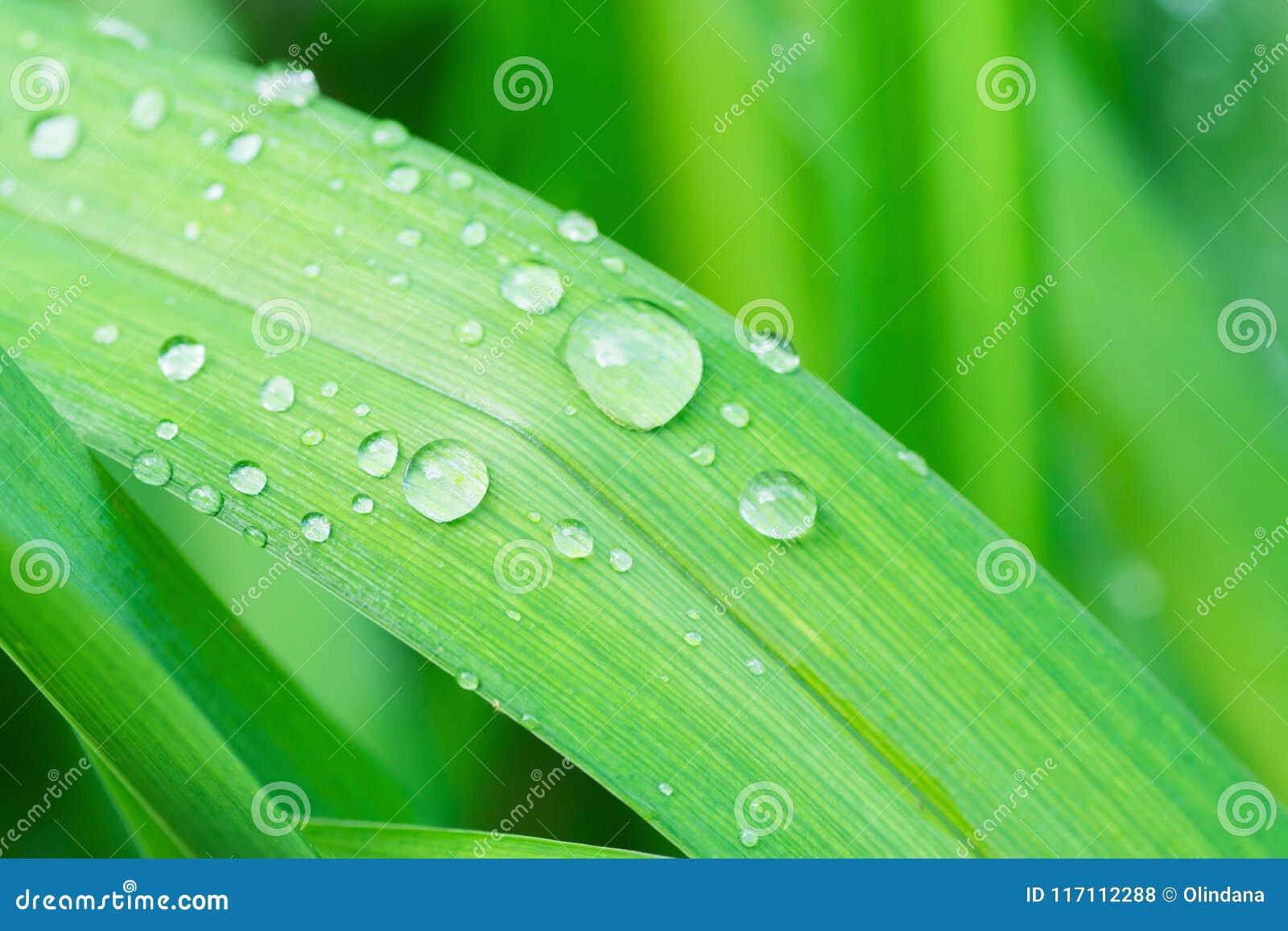 Hoja Fresca De La Hierba Verde Después De La Lluvia Con Descensos ...