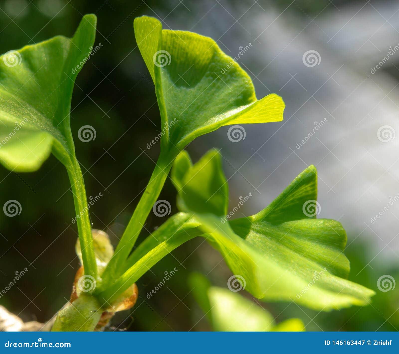 Hoja joven de un árbol del ginkgo, biloba científico del Ginkgo del nombre, en primavera, primer contra un fondo borroso