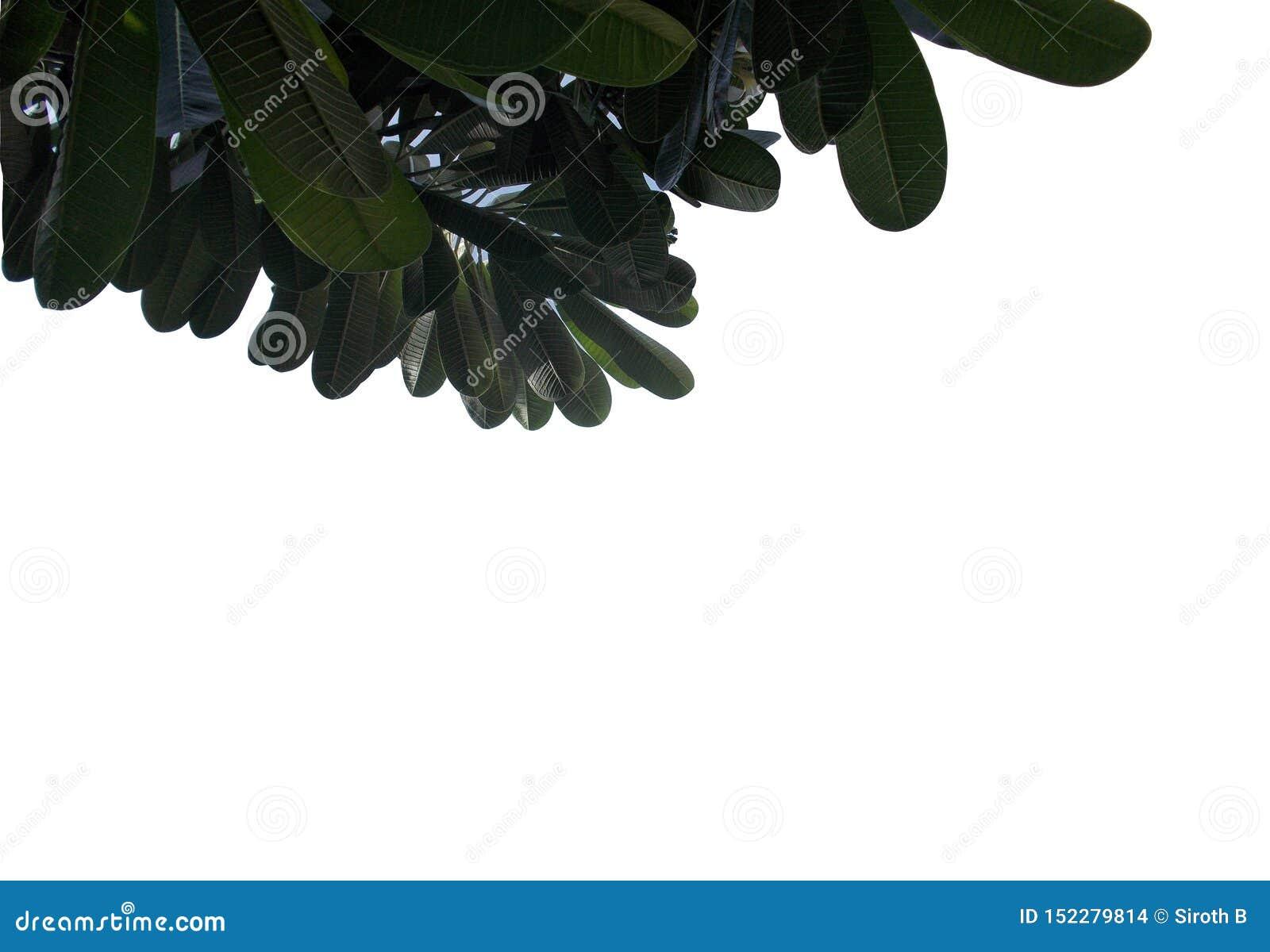 Hoja tropical con las ramas aisladas en los fondos blancos, follaje del verde de la visión superior para el contexto