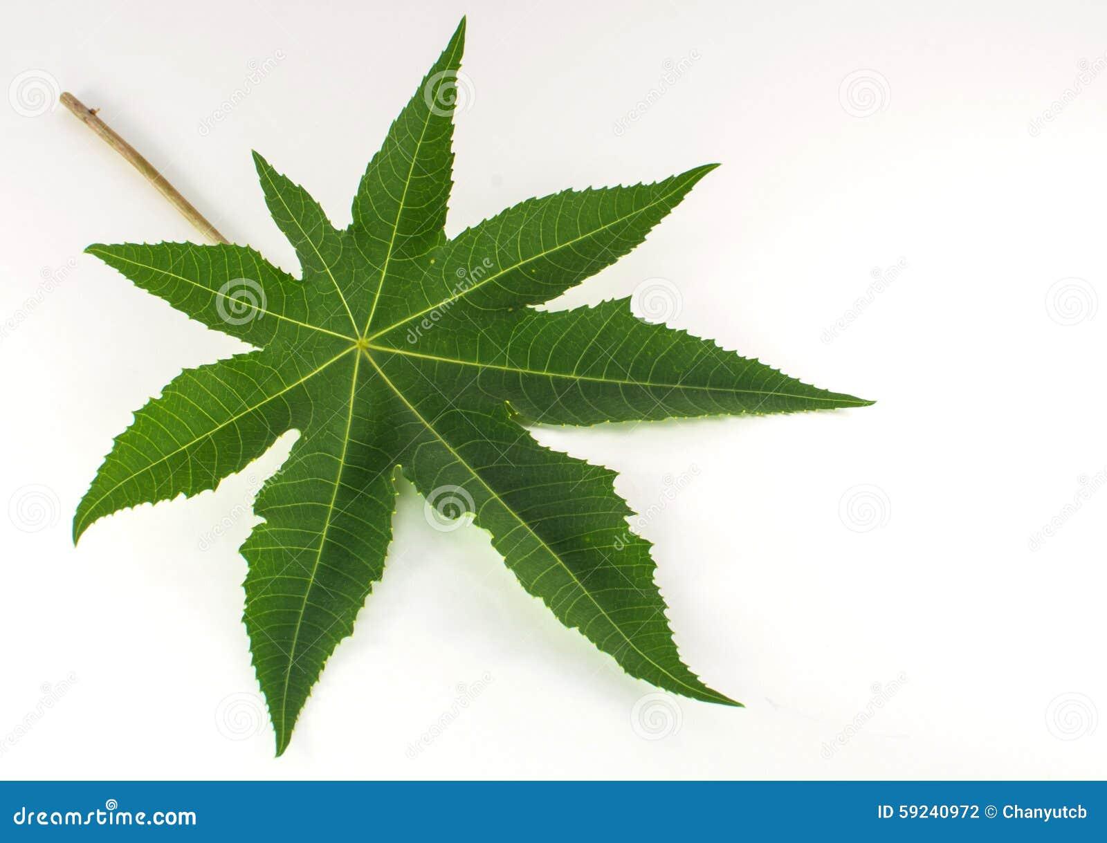 Download Hoja Verde Aislada En El Fondo Blanco Foto de archivo - Imagen de hojas, marca: 59240972