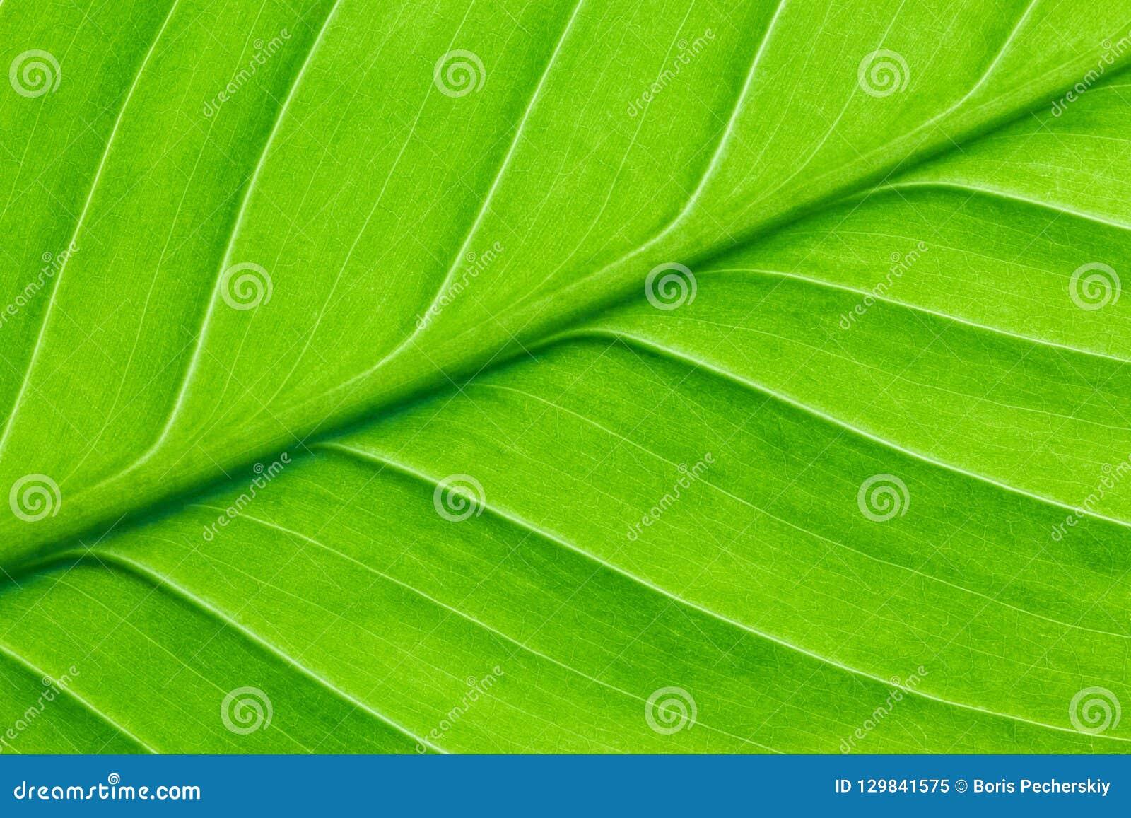Hoja verde clara de un cierre de la planta para arriba