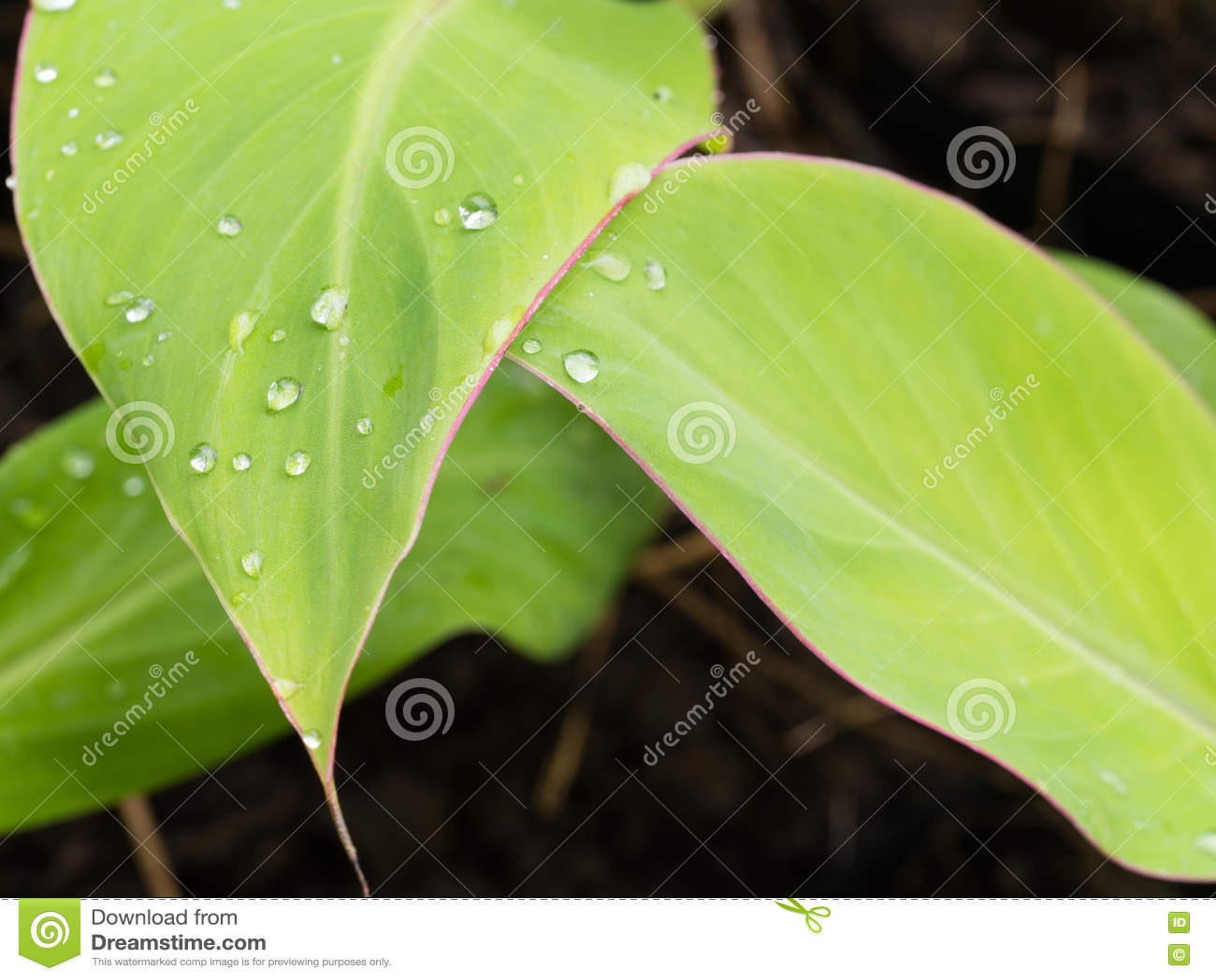 Hoja verde con el borde rojo después de la lluvia