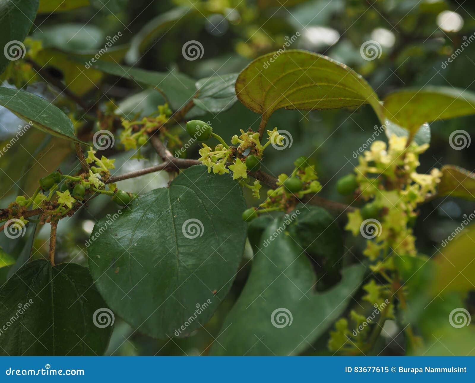 Hoja verde de la manzana del mono