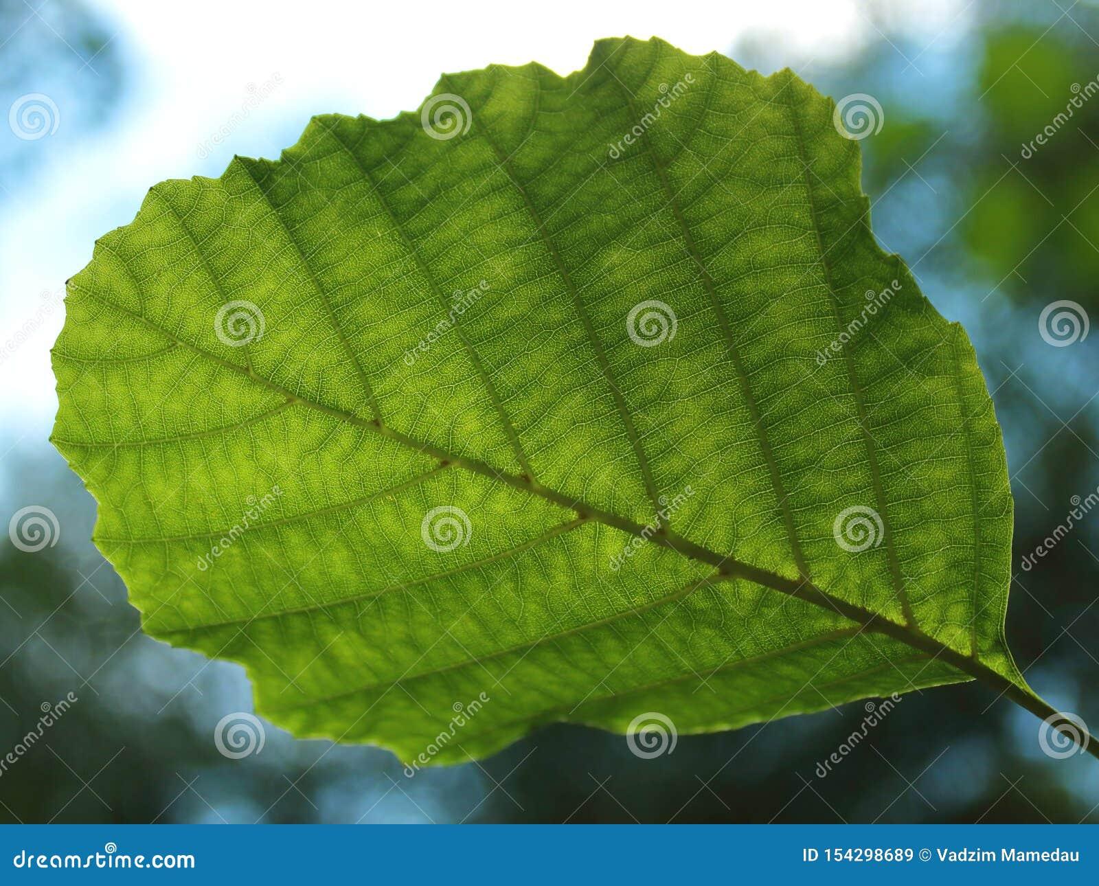 Hoja verde de un cierre del árbol para arriba contra