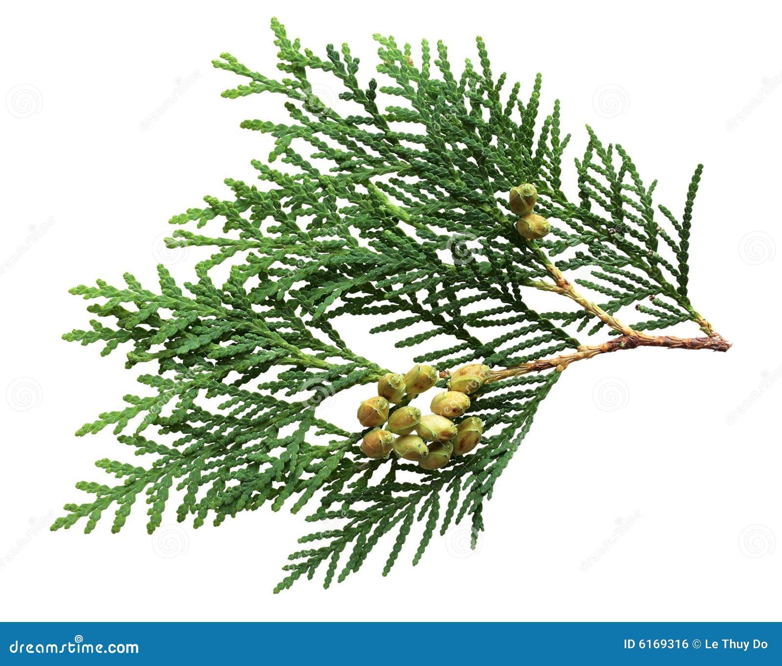 Hoja y frutas del pino