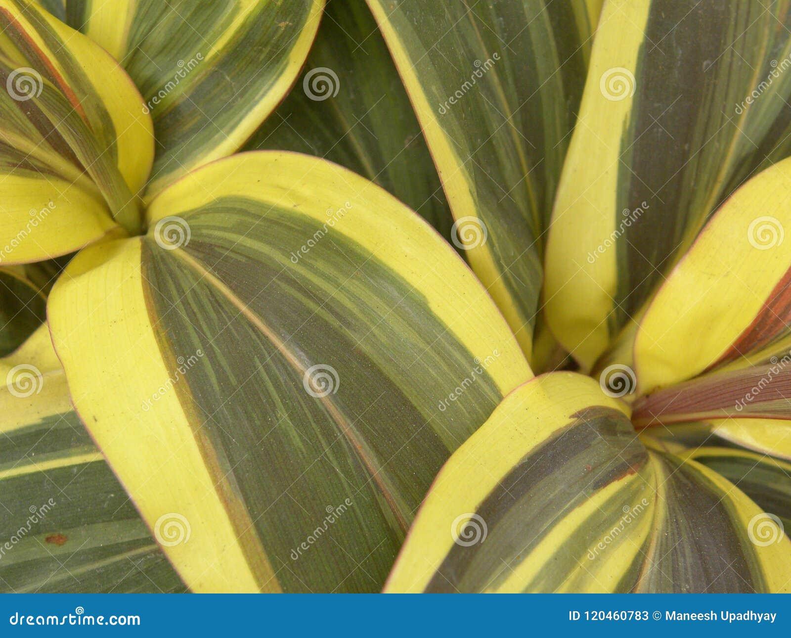 Hojas Amarillas Y Verde Oscuro Brillantes Del Color De La Planta De ...