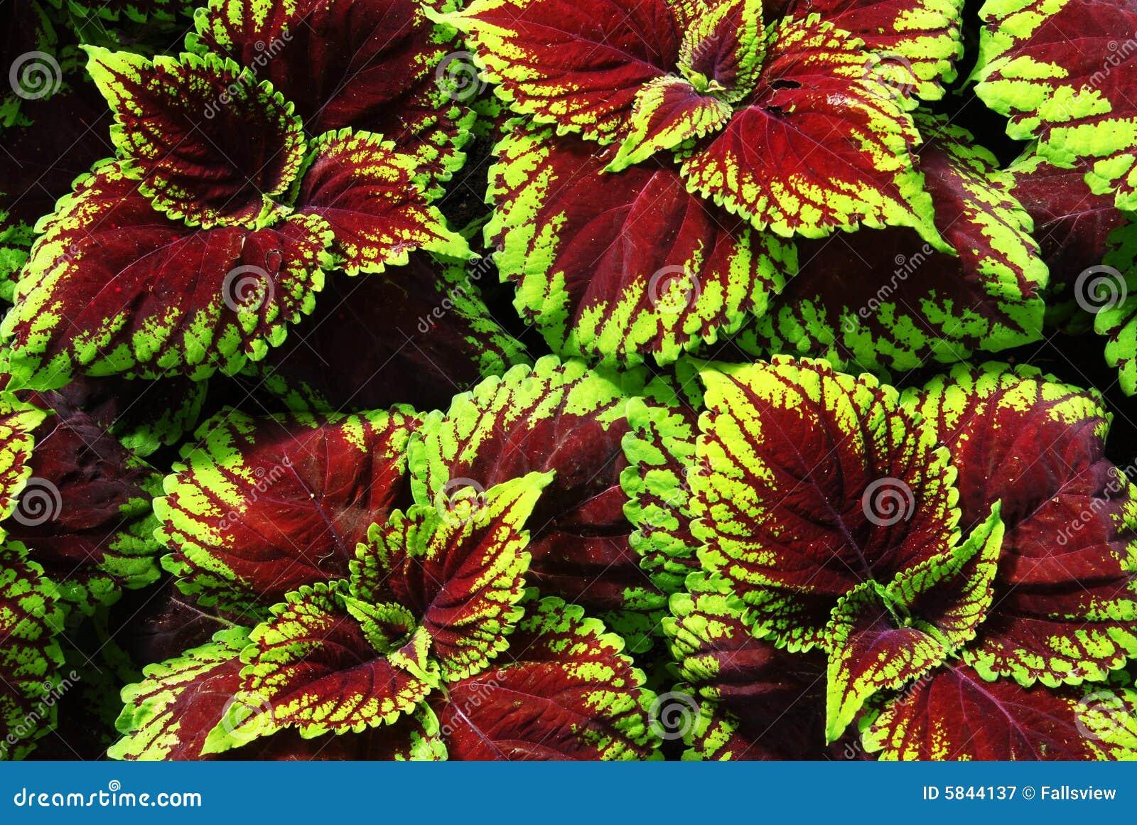 Hojas Coloridas De La Planta Fotograf 237 A De Archivo Libre