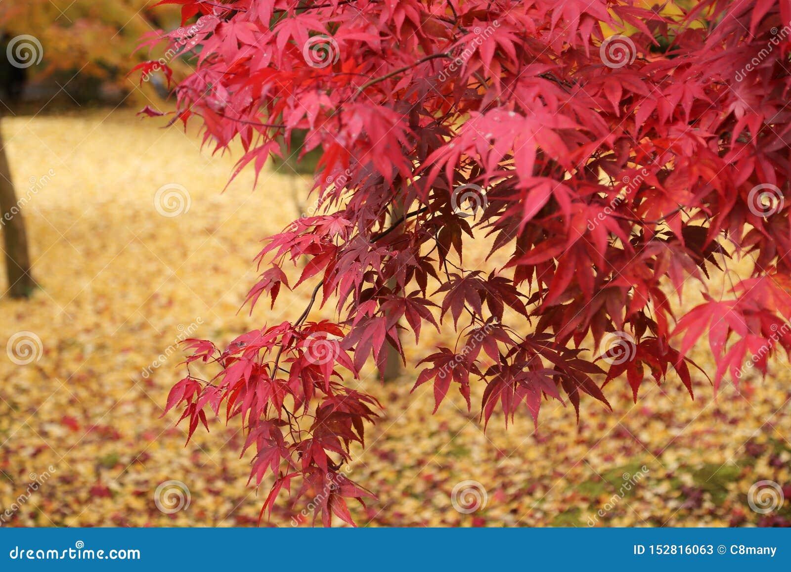 Hojas de arce en otoño en Japón