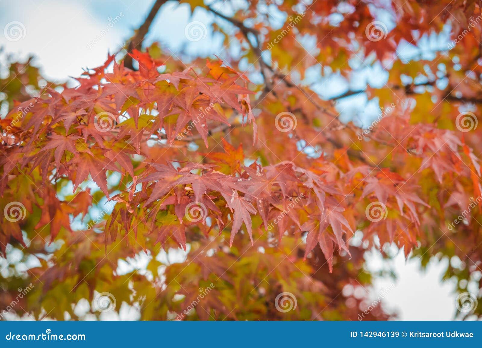 Hojas de arce rojas con el fondo de la falta de definición en la estación del otoño