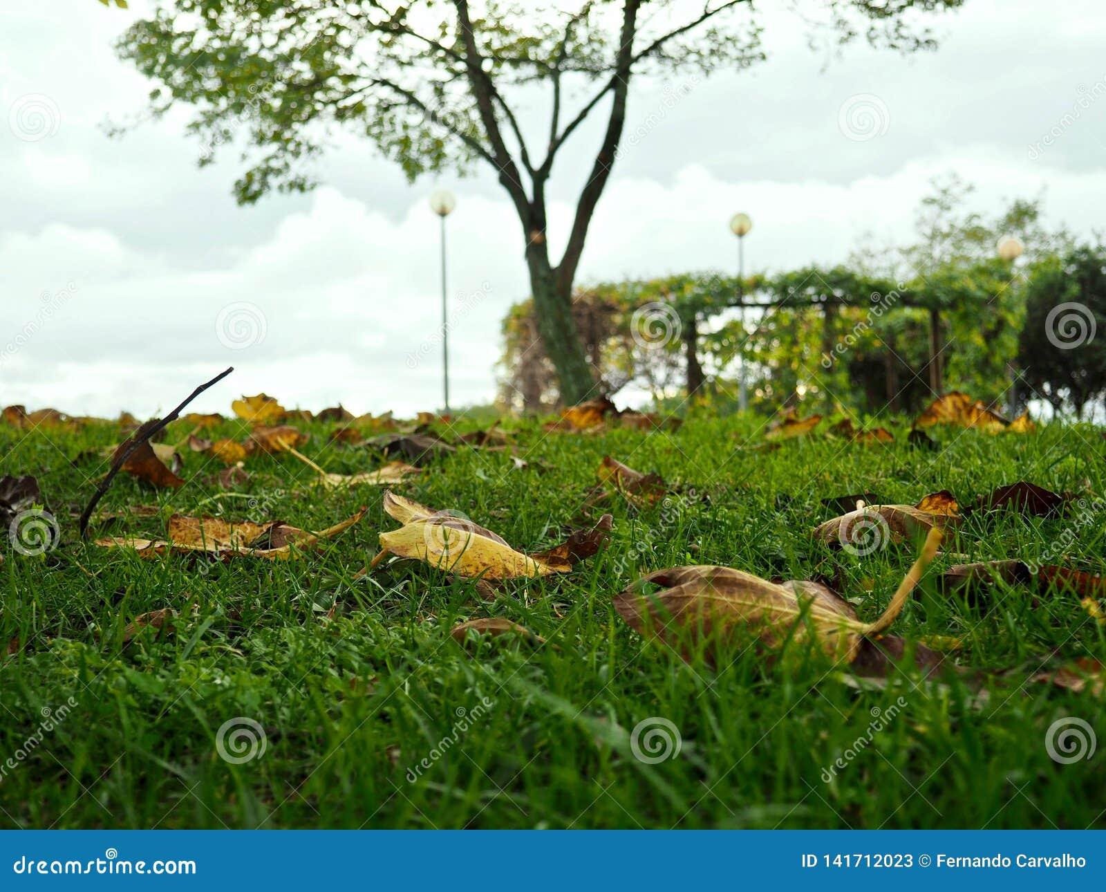 Hojas de la higuera en nuestra hierba del patio trasero