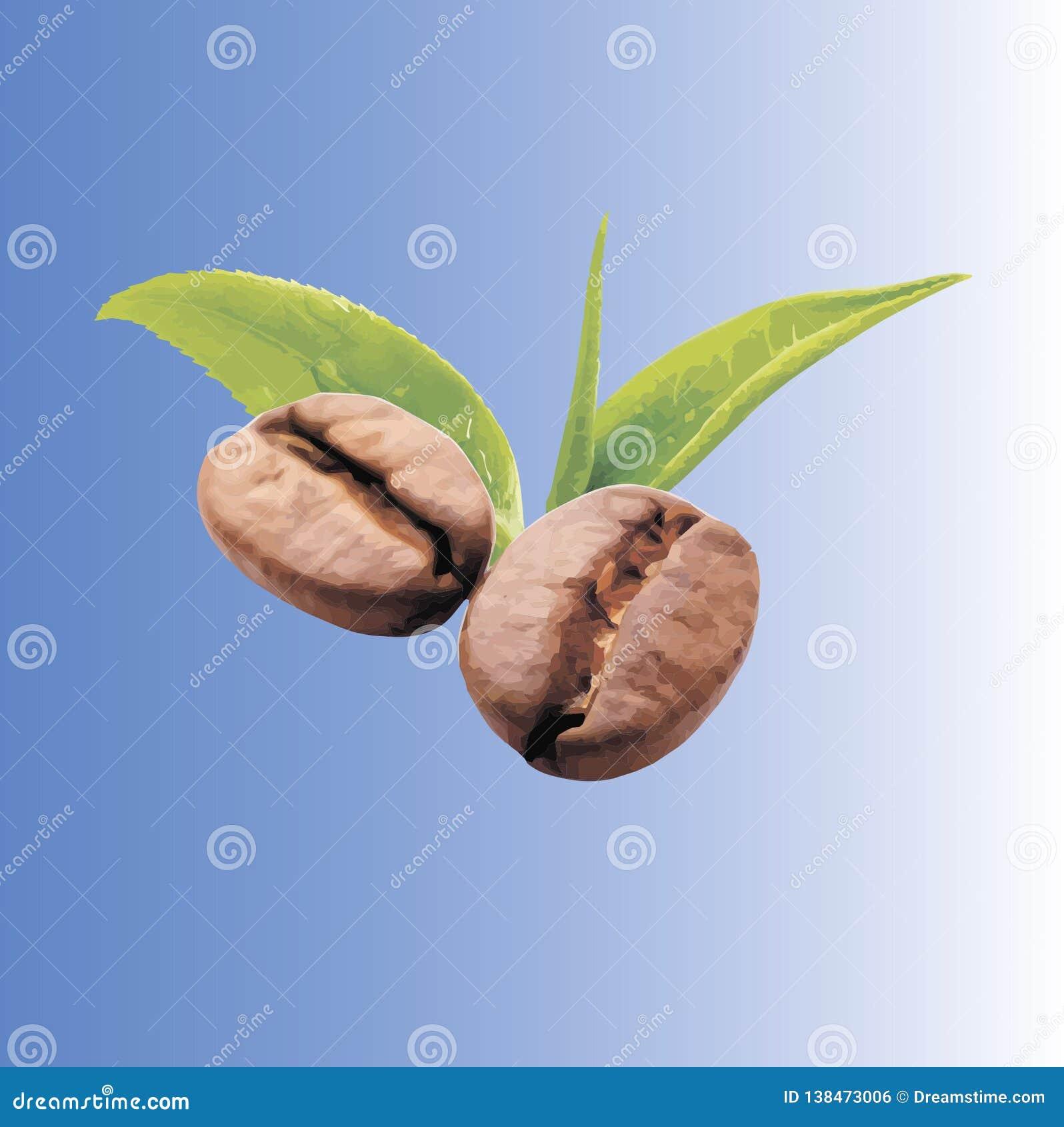 Hojas de la hoja del vector de los granos de café