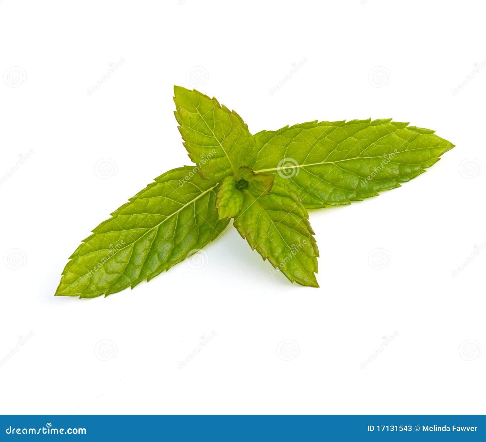Hojas de la menta verde