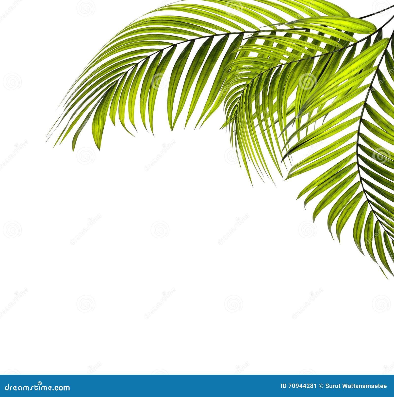 Hojas de la palmera
