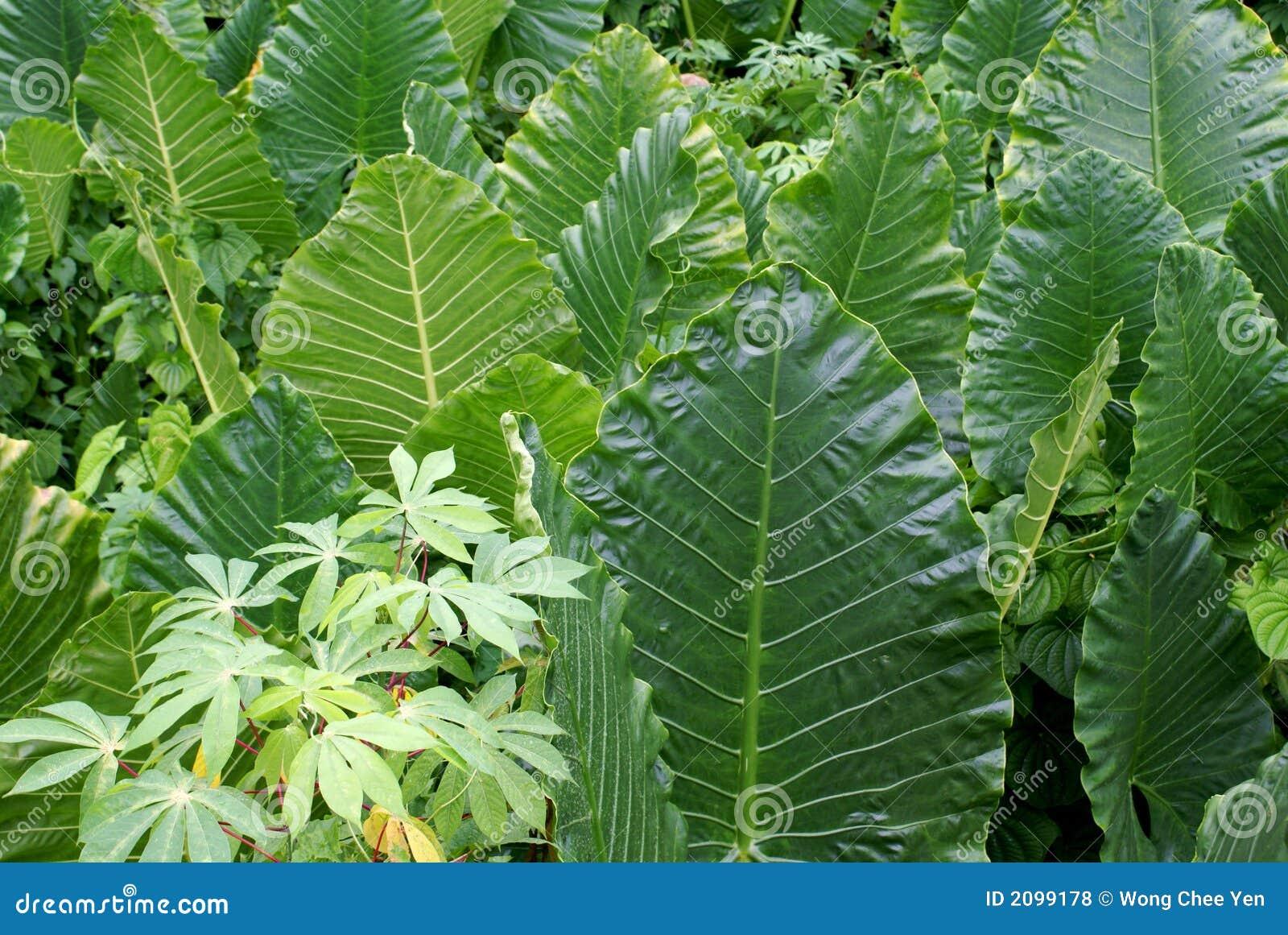 Hojas de las plantas tropicales fotos de archivo libres de - Plantas de hojas grandes y verdes de exterior ...