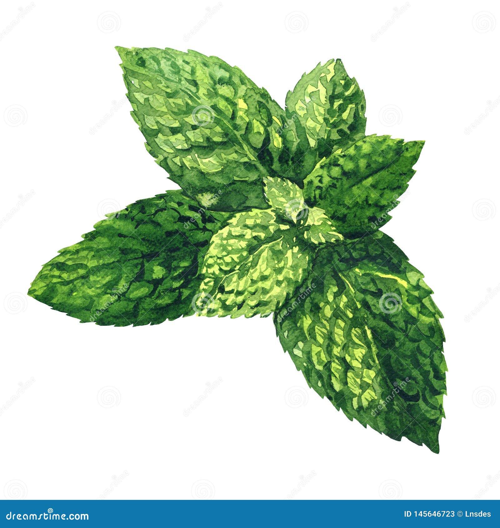 Hojas de menta verdes crudas frescas, menta verde, cierre de la hierbabuena para arriba, aislada, ejemplo exhausto de la acuarela