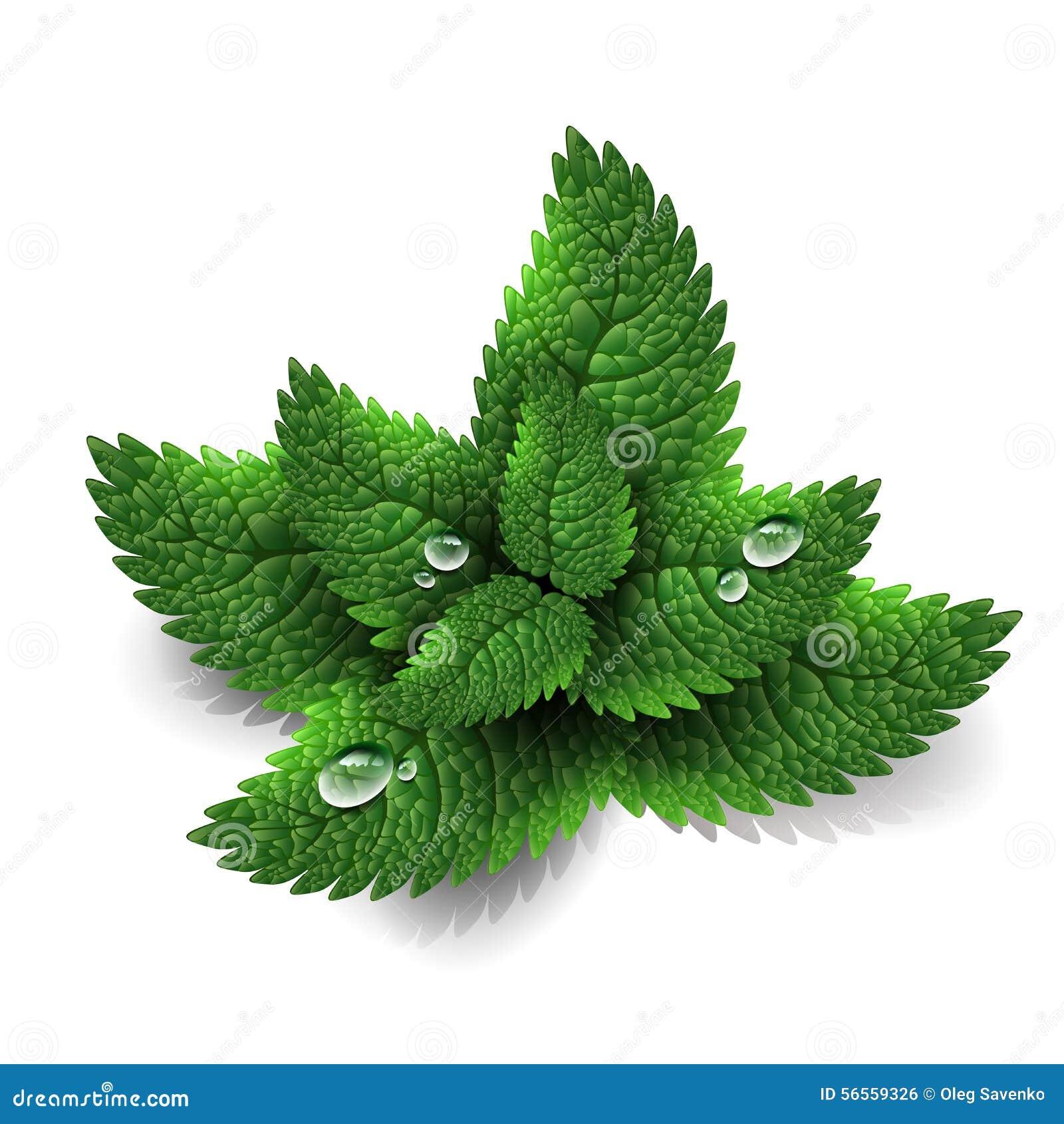 Hojas de menta verdes frescas