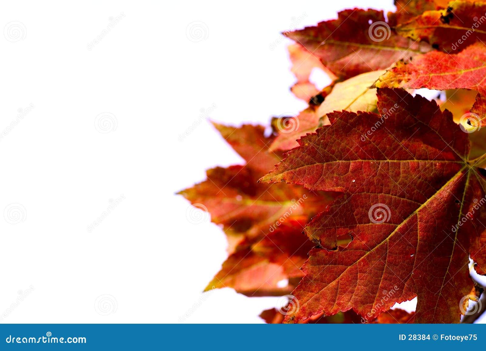 Download Hojas de otoño foto de archivo. Imagen de holiday, árbol - 28384
