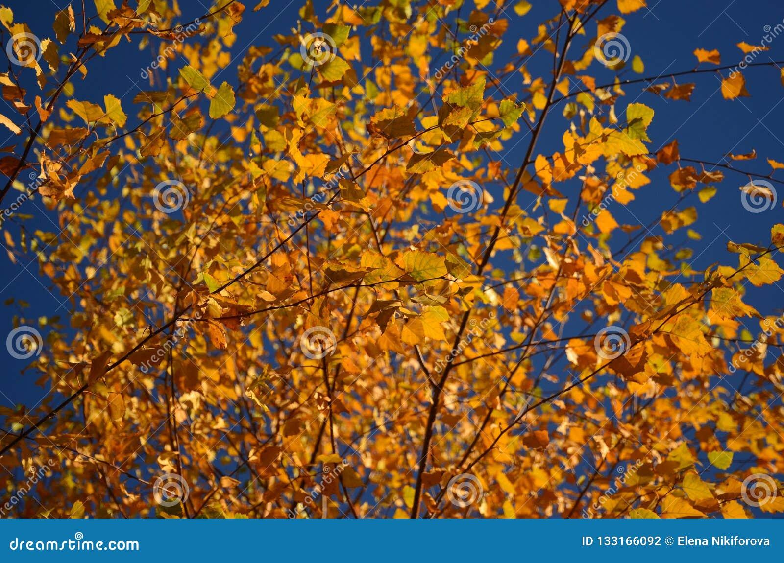 Hojas de otoño amarillas en el árbol