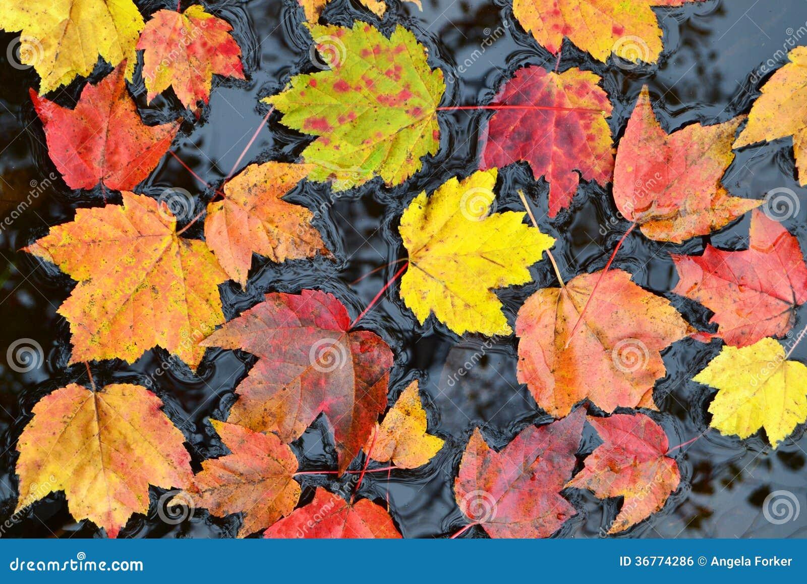 Hojas de otoño en agua