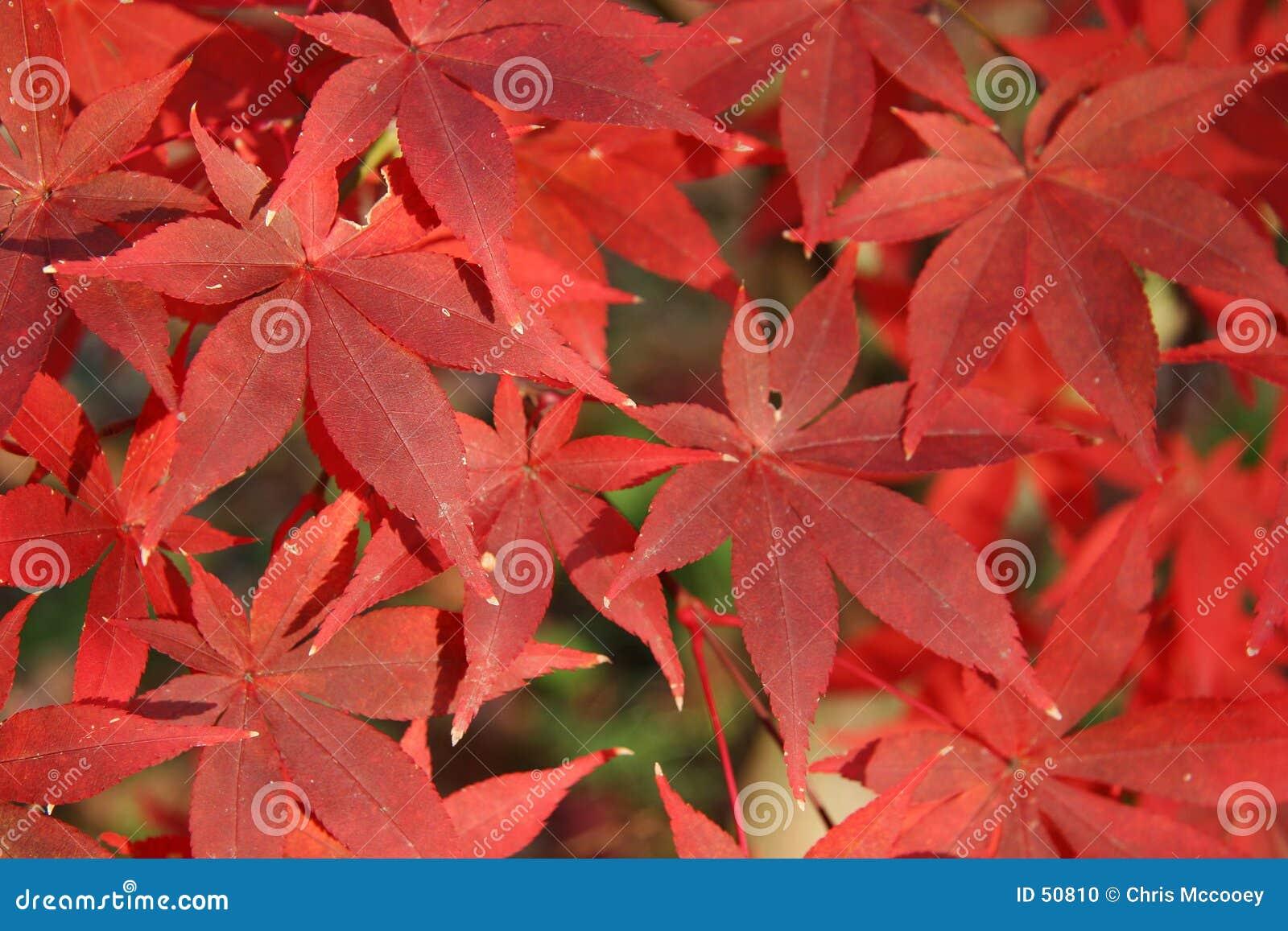 Hojas de otoño rojas