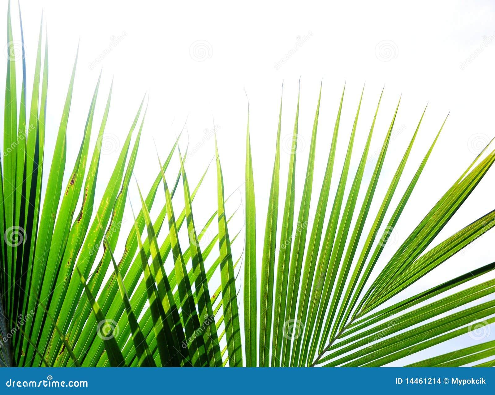 Hojas de palma tropicales
