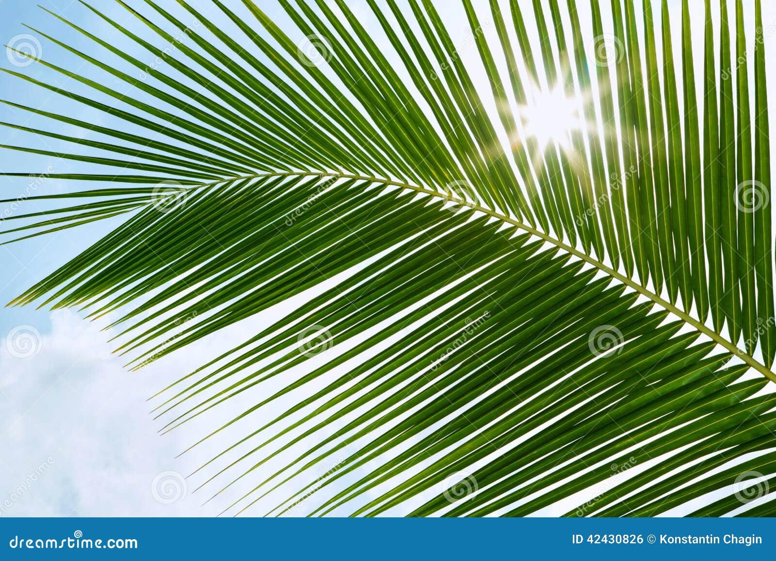 Hojas de palma verdes en la sol con el rayo de sol