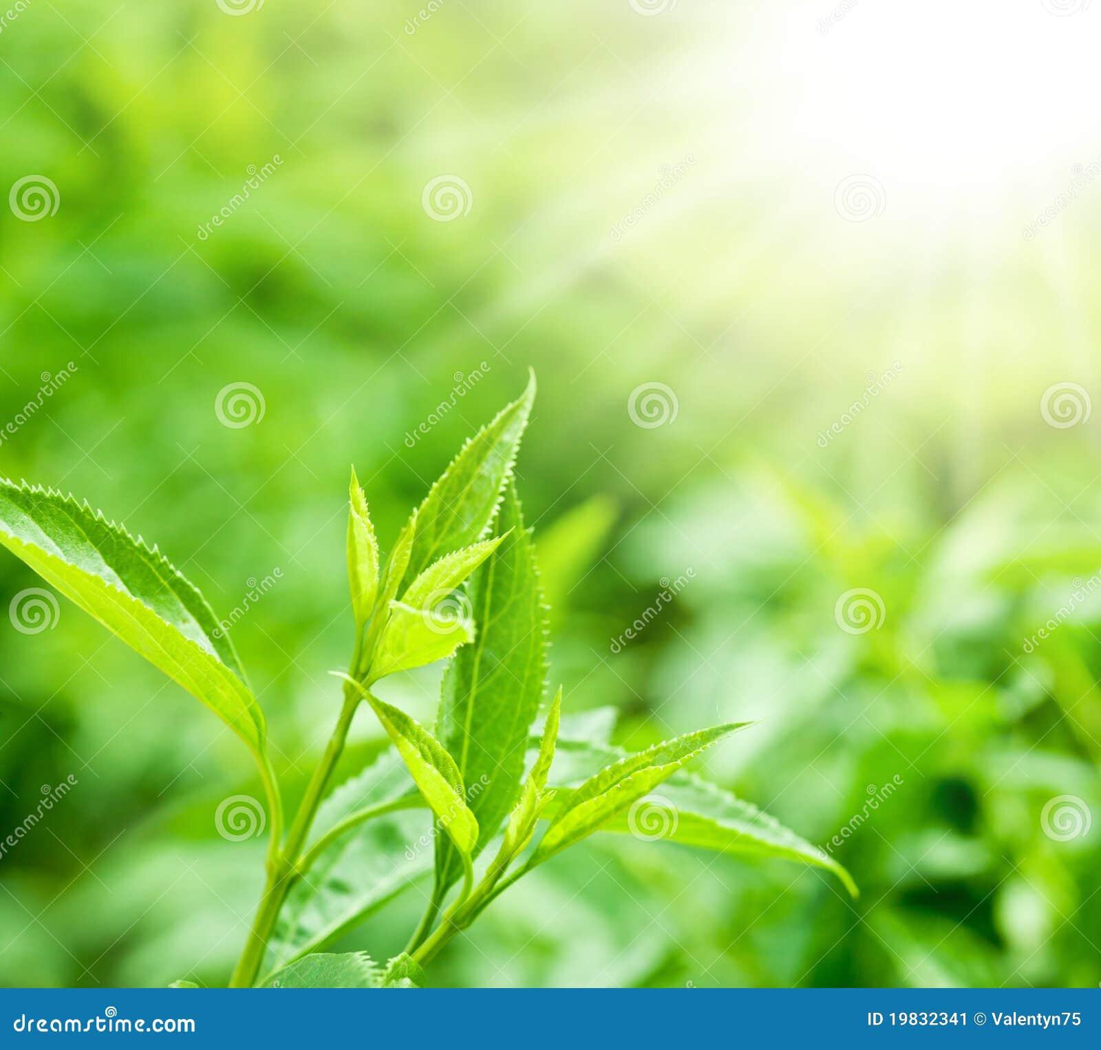 Hojas de té en una plantación