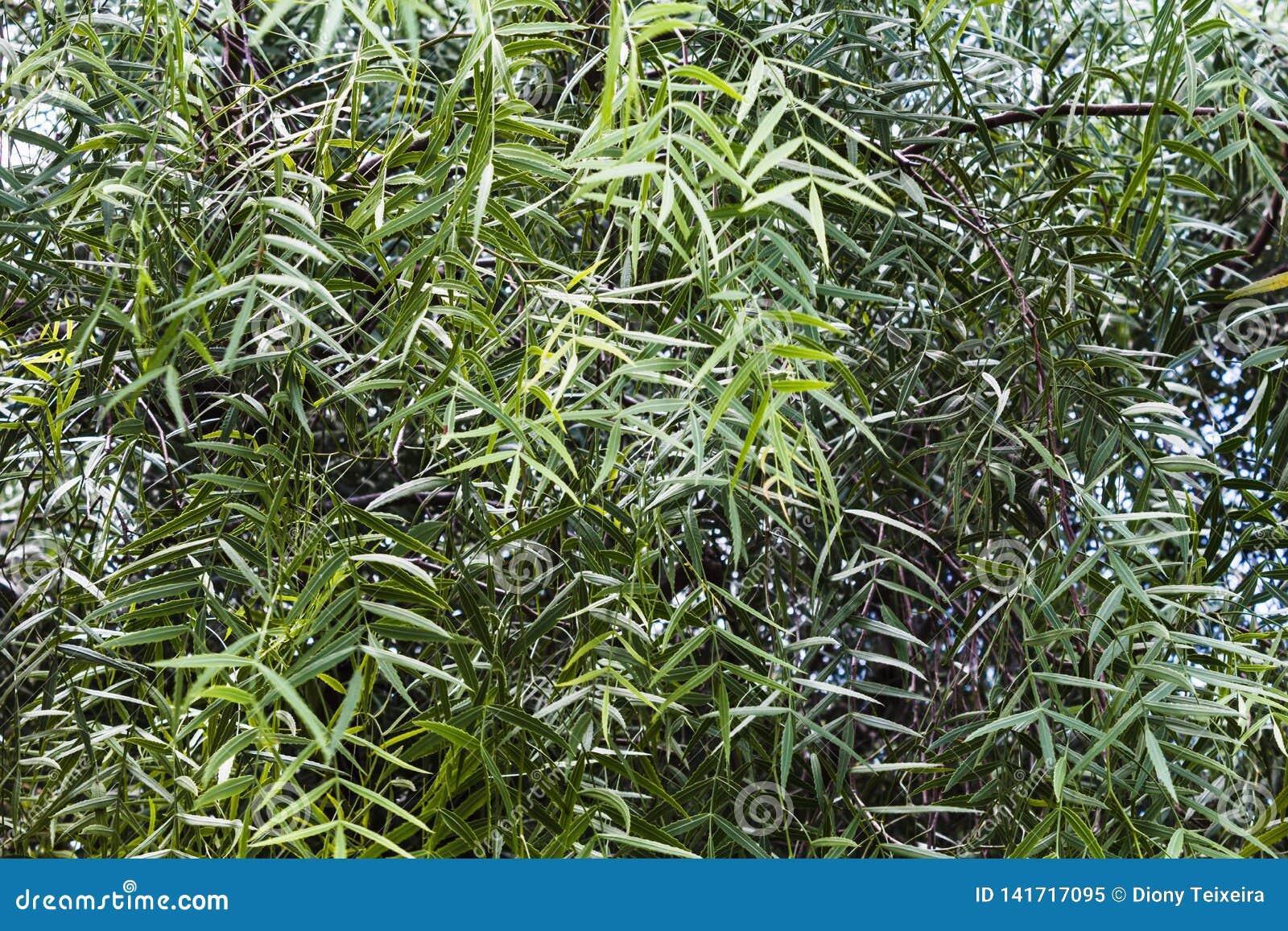 Hojas del molle del schinus o del árbol de pimienta falso   Aroeira Salsa  en el Brasil