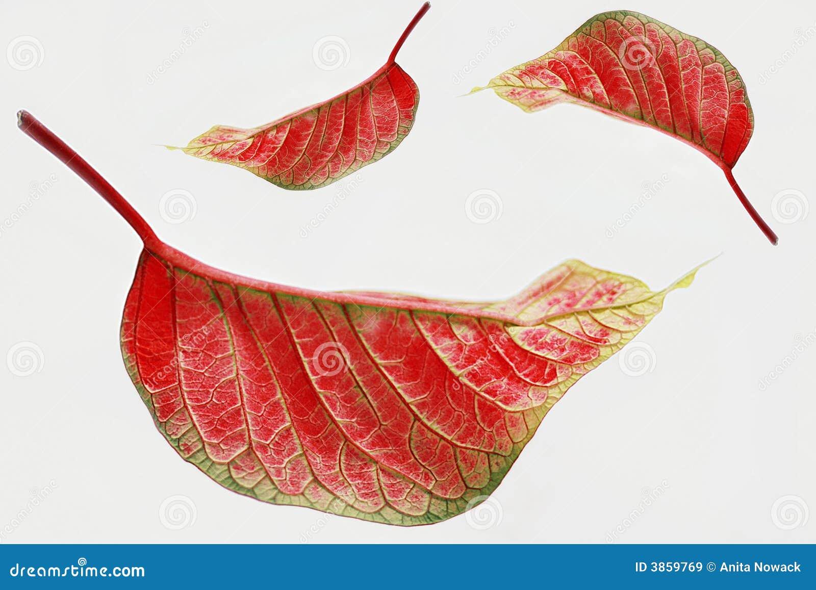 Hojas del rojo aisladas imagen de archivo. Imagen de botánico - 3859769