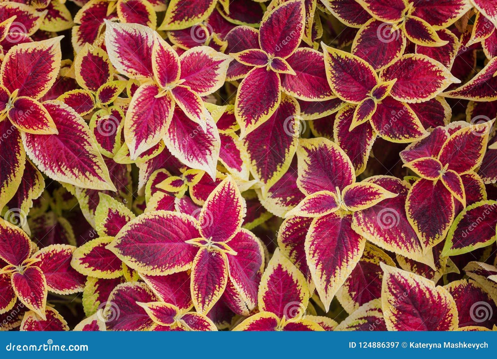 Hojas del rojo y del amarillo de la opinión superior del coleo para el fondo