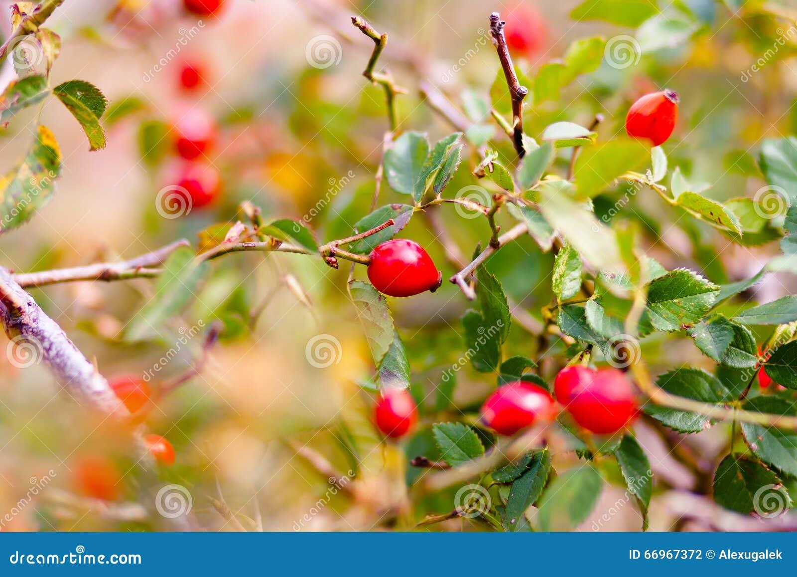 Hojas del verde de la primavera y baya roja