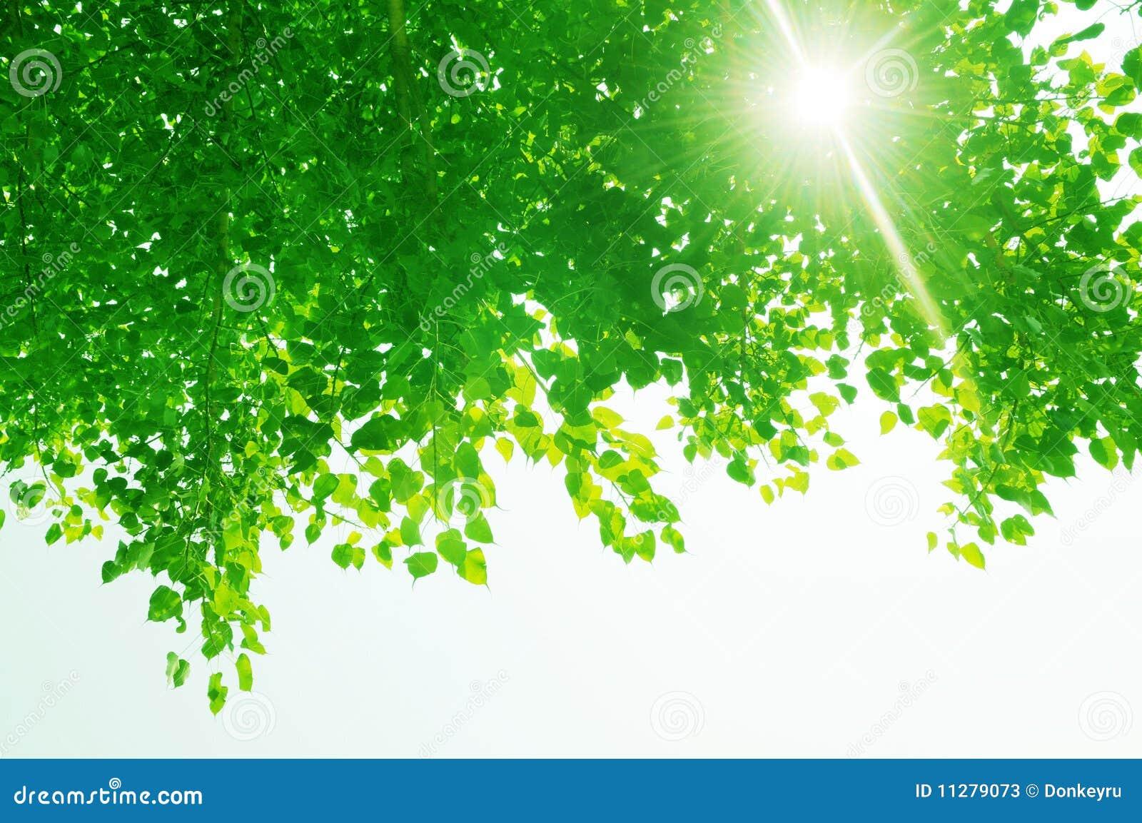 Hojas del banyan y rayos verdes del sol.