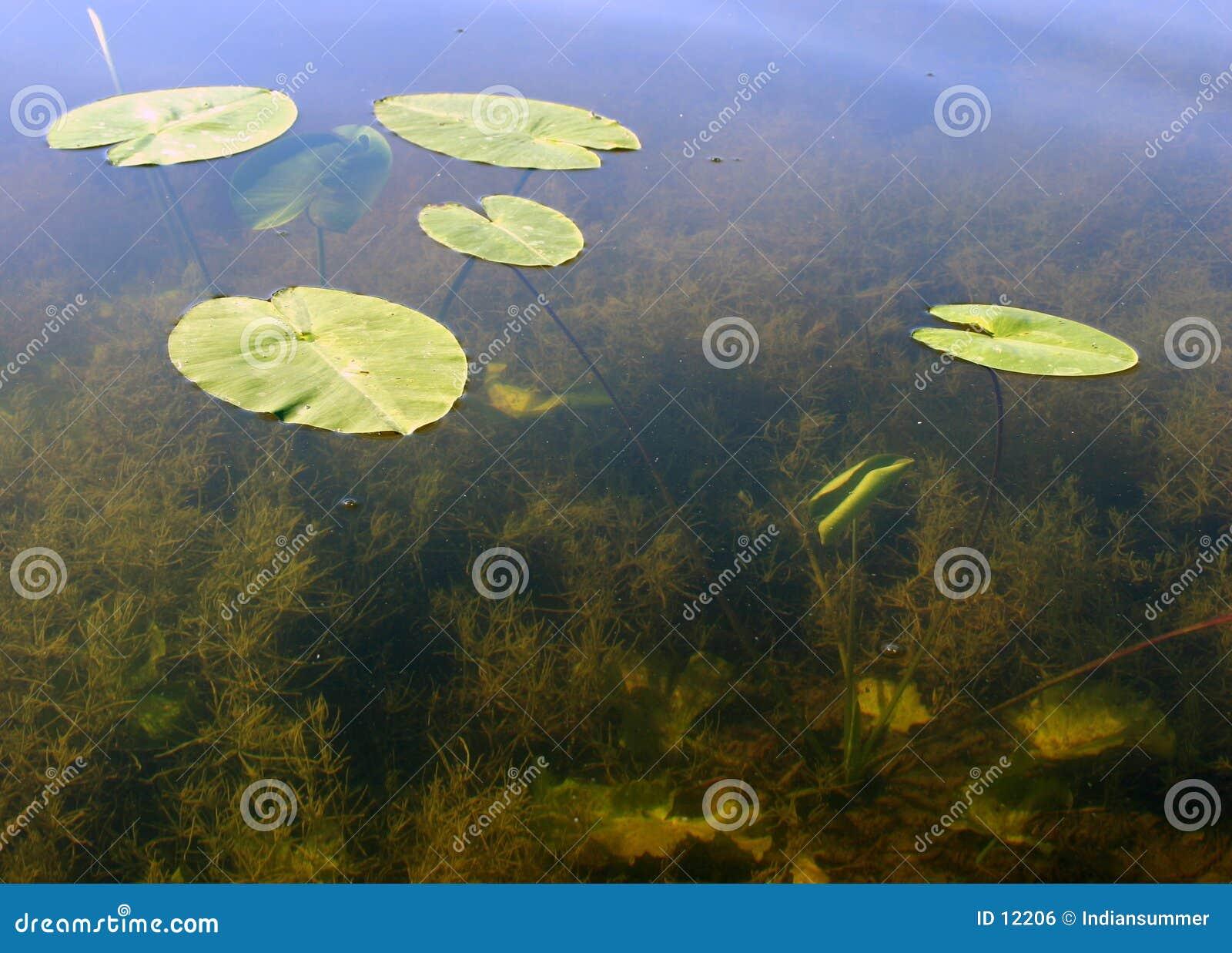 Hojas en el agua