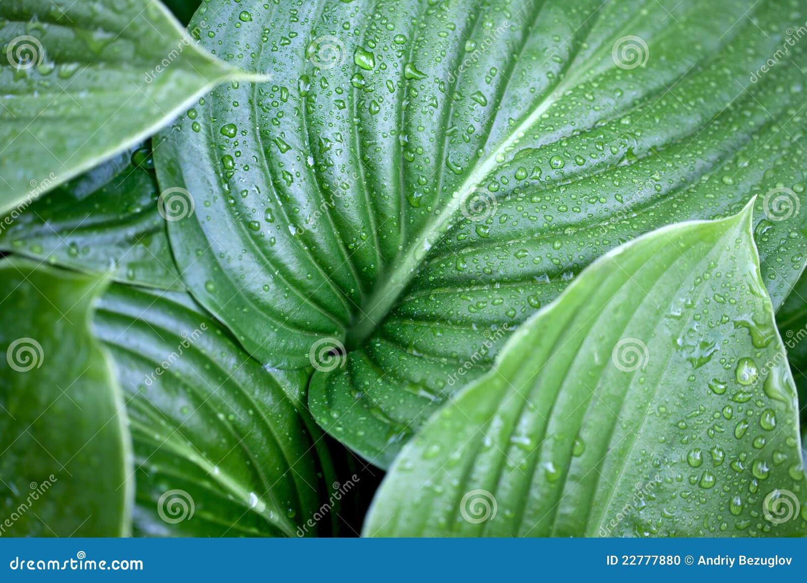 Hojas grandes del verde foto de archivo imagen 22777880 - Plantas de hojas grandes y verdes de exterior ...
