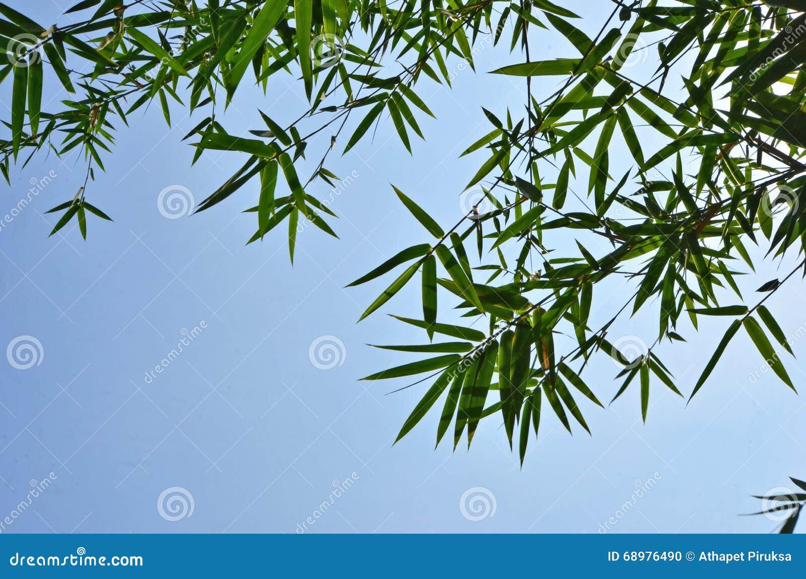 Hojas hermosas del bambú