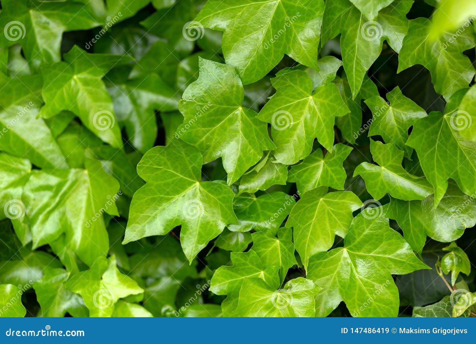 Hojas jovenes de la hélice común de Ivy Hedera en primavera Concepto de la naturaleza para el dise?o