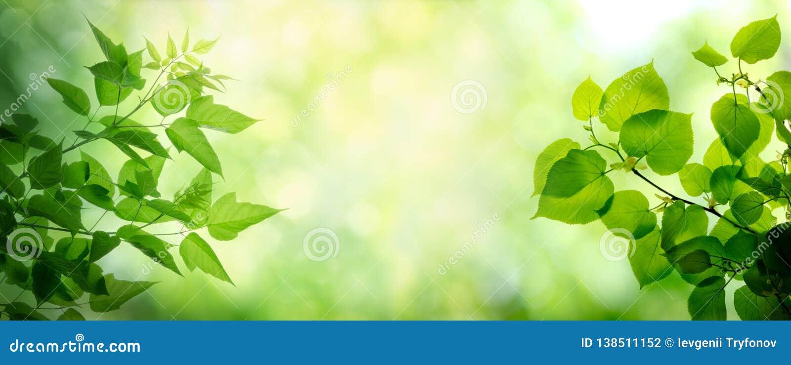 Hojas jovenes en las ramas del árbol del arce y de cal Primavera y fondo del verano
