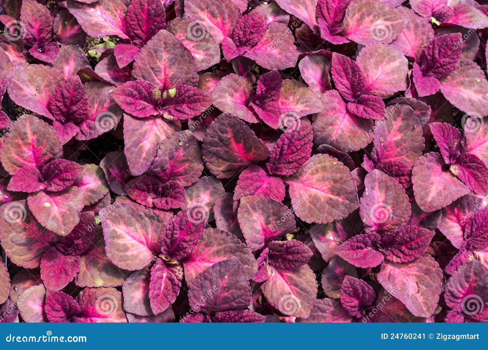 hojas rojas de la planta del coleo imagen de archivo