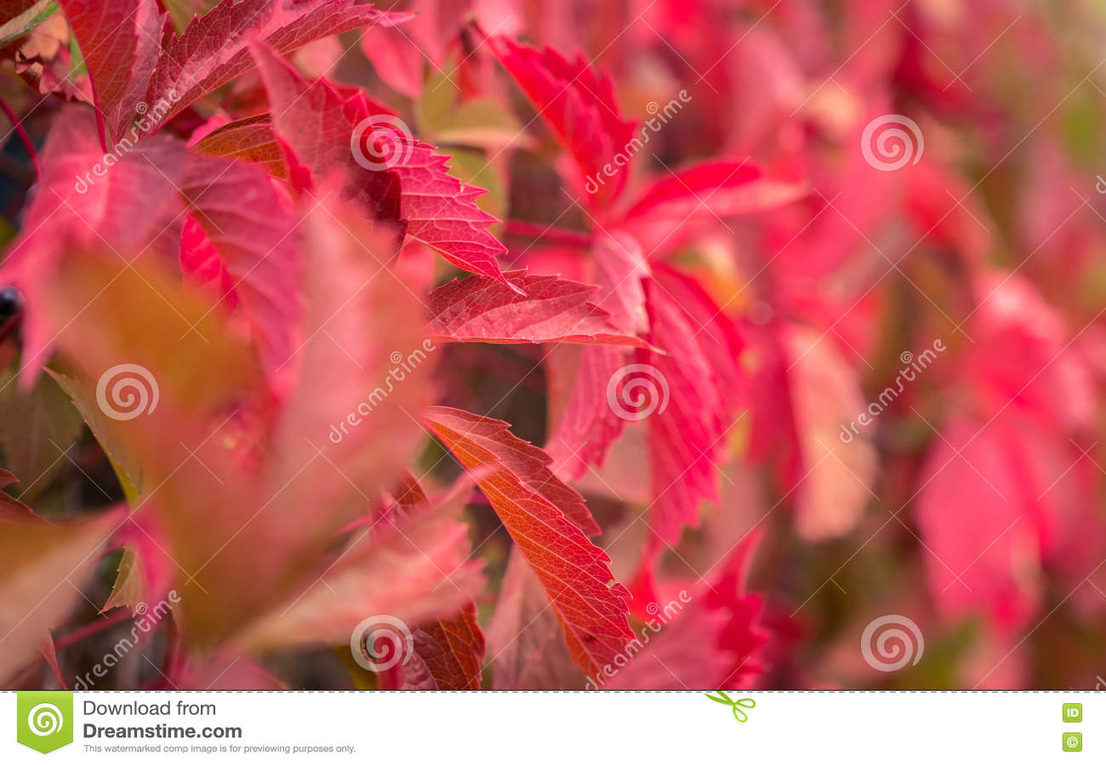 Hojas rojas, hojas de otoño