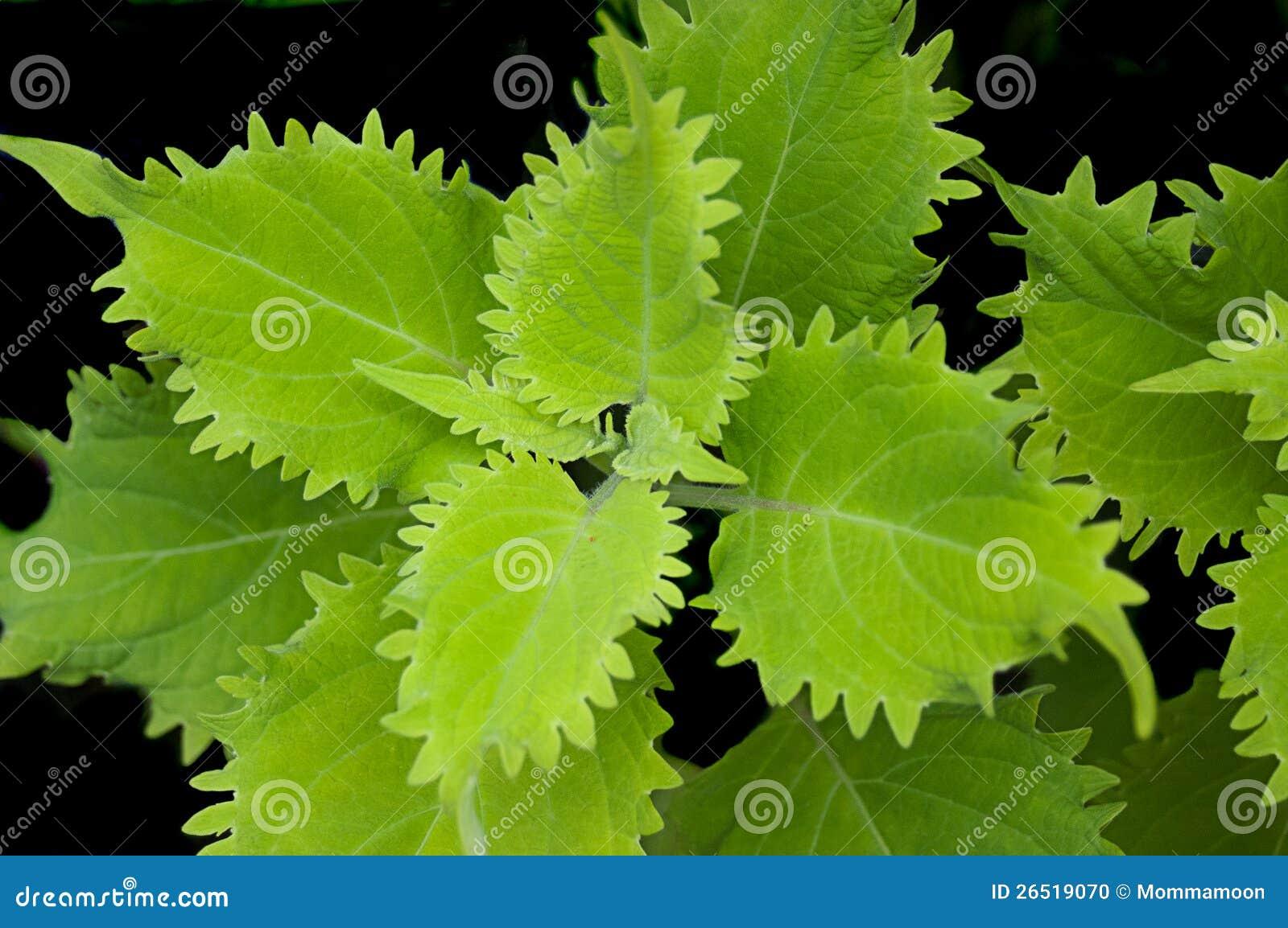 Hojas verdes claras de la planta foto de archivo imagen - Plantas de hojas verdes ...