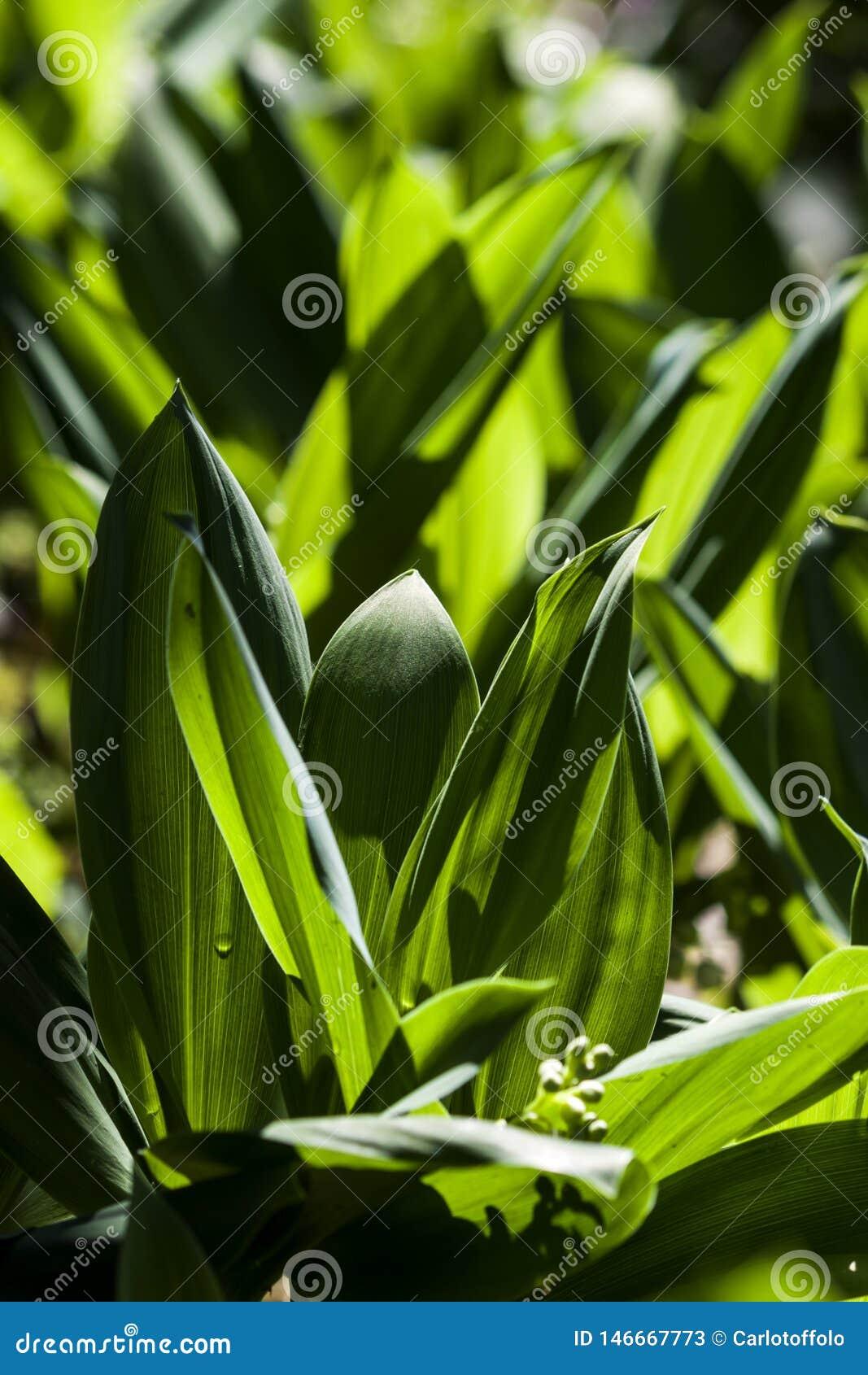 Hojas verdes de las flores del mughetto en el contraluz del sol - fotografía
