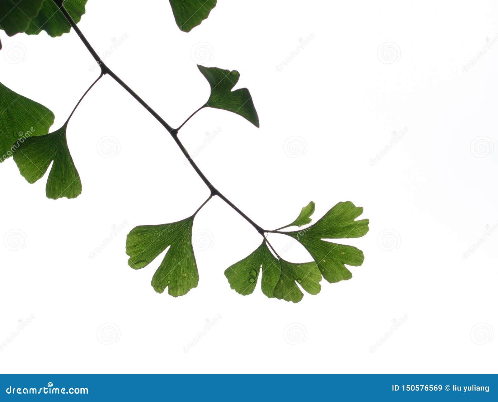 Hojas verdes del ginkgo, hojas con lluvia
